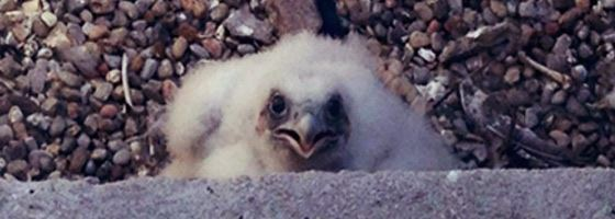 Falcon Chick (Taken May 23, 2014)